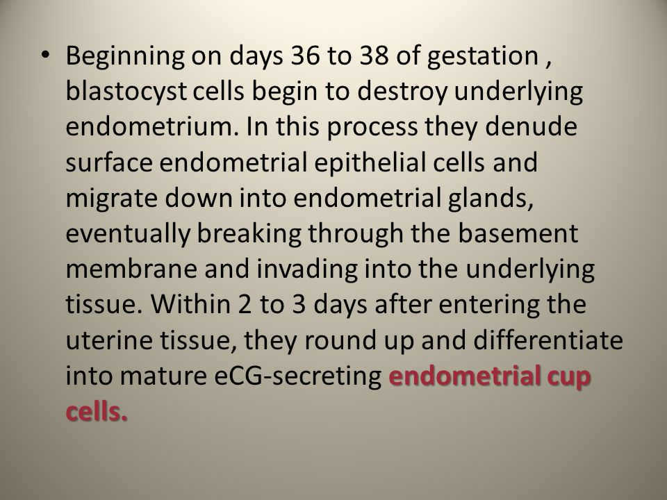 endometrial cup cells. Beginning on days 36 to 38 of gestation, blastocyst cells begin to destroy underlying endometrium. In this process they denude