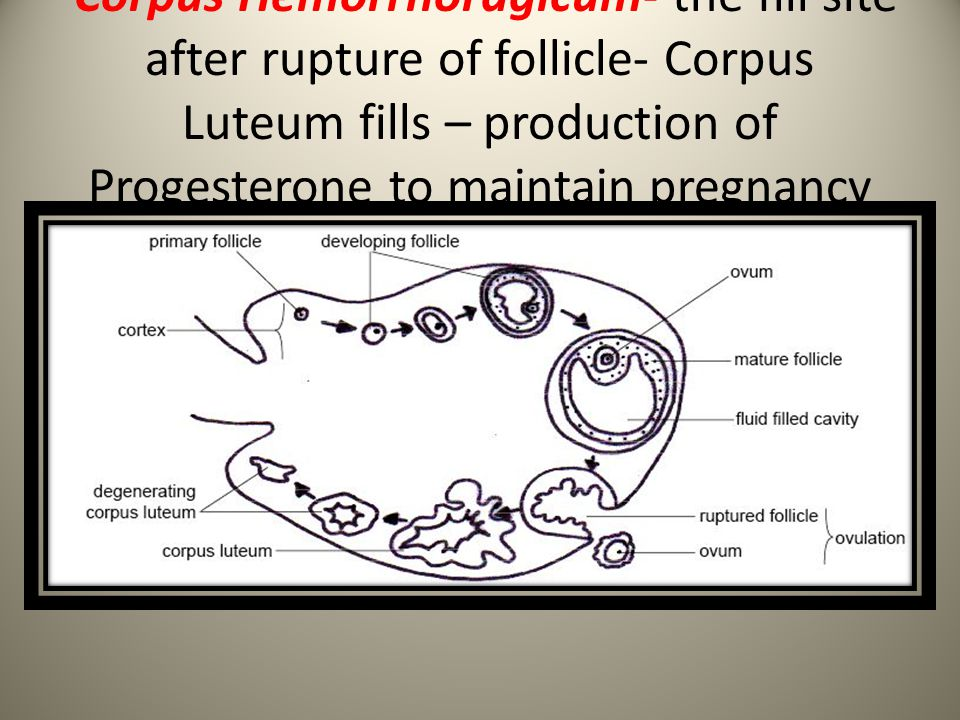 Corpus Hemorrhoragicum- the fill site after rupture of follicle- Corpus Luteum fills – production of Progesterone to maintain pregnancy