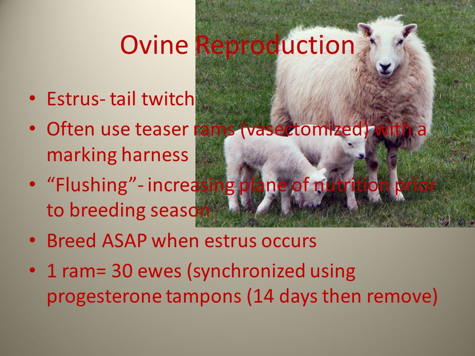 "Ovine Reproduction Estrus- tail twitch Often use teaser rams (vasectomized) with a marking harness ""Flushing""- increasing plane of nutrition prior to"