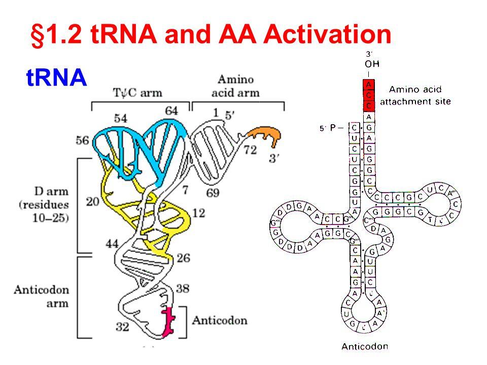 tRNA § 1.2 tRNA and AA Activation