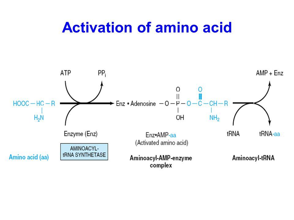 Activation of amino acid