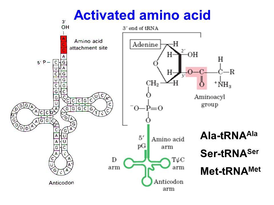 Ala-tRNA Ala Ser-tRNA Ser Met-tRNA Met Activated amino acid