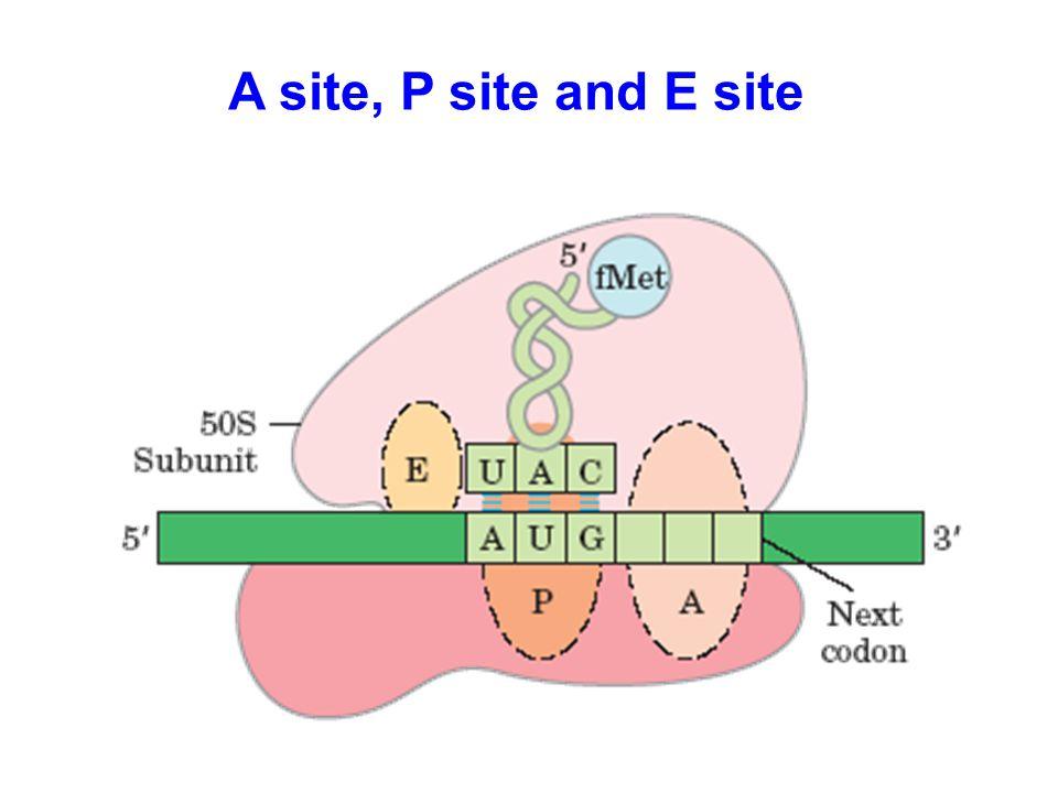 A site, P site and E site