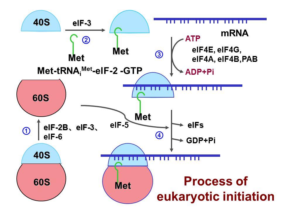Met 40S Met Met 40S 60S mRNA eIF-2B 、 eIF-3 、 eIF-2B 、 eIF-3 、 eIF-6 ① elF-3 ② ATP ADP+Pi elF4E, elF4G, elF4A, elF4B,PAB ③ Process of eukaryotic initiation Met-tRNA i Met -elF-2 -GTP Met 60S GDP+Pi elFs elF-5 ④