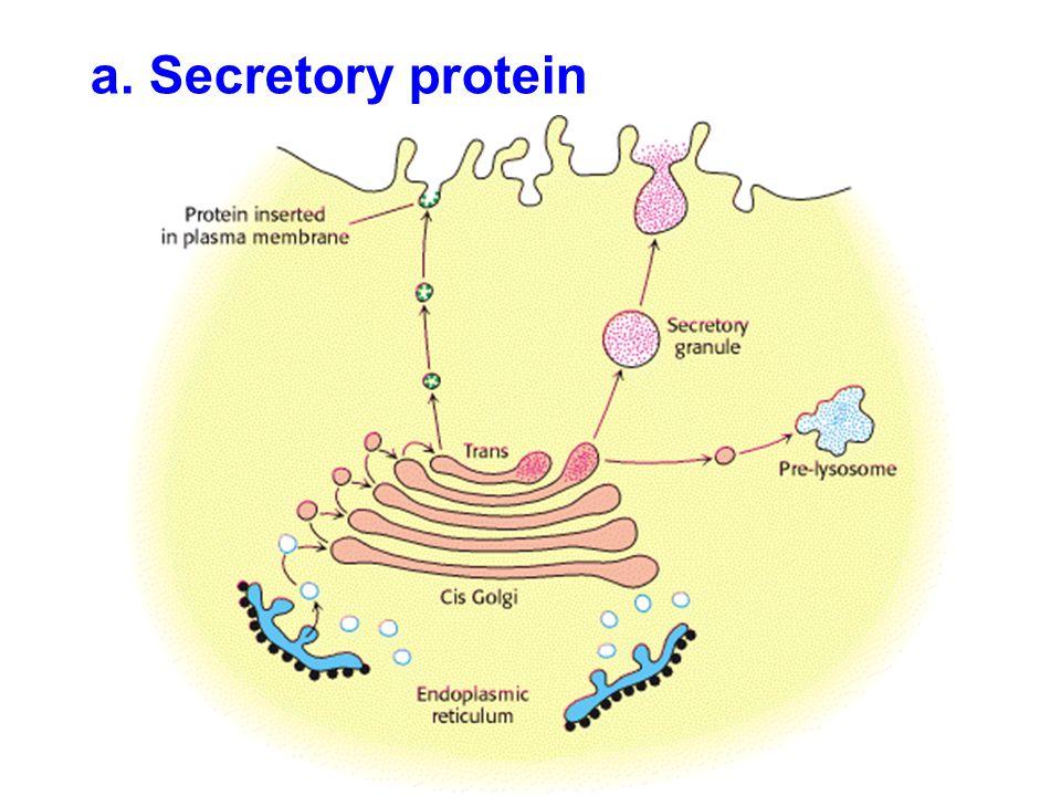 a. Secretory protein