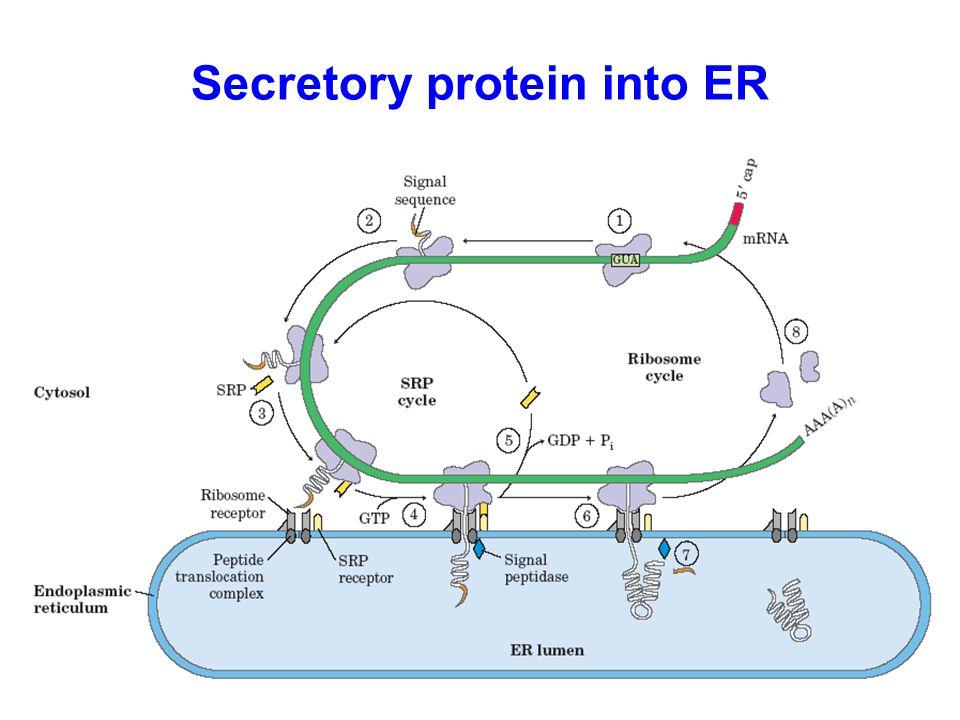 Secretory protein into ER