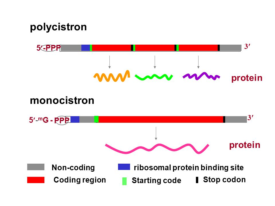 polycistron monocistron Non-codingribosomal protein binding site Starting code Stop codon Coding region 5-PPP 3 protein PPP 5- m G - 3 protein