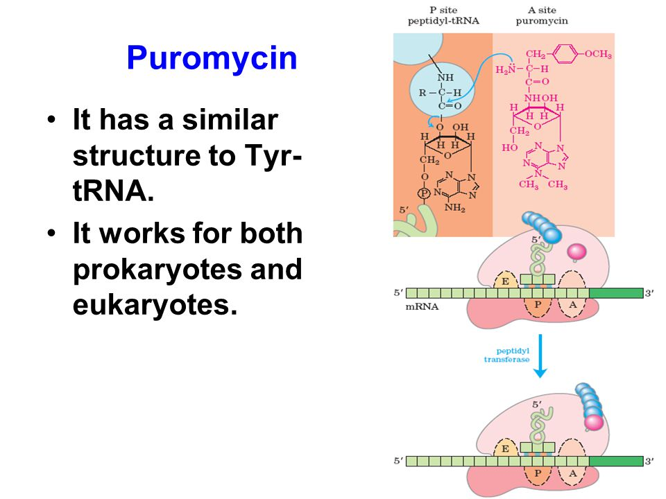 It has a similar structure to Tyr- tRNA. It works for both prokaryotes and eukaryotes. Puromycin