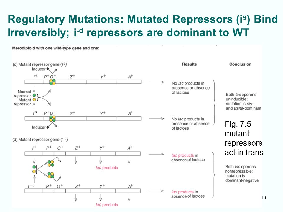 7-13 Regulatory Mutations: Mutated Repressors (i s ) Bind Irreversibly; i -d repressors are dominant to WT Fig. 7.5 mutant repressors act in trans