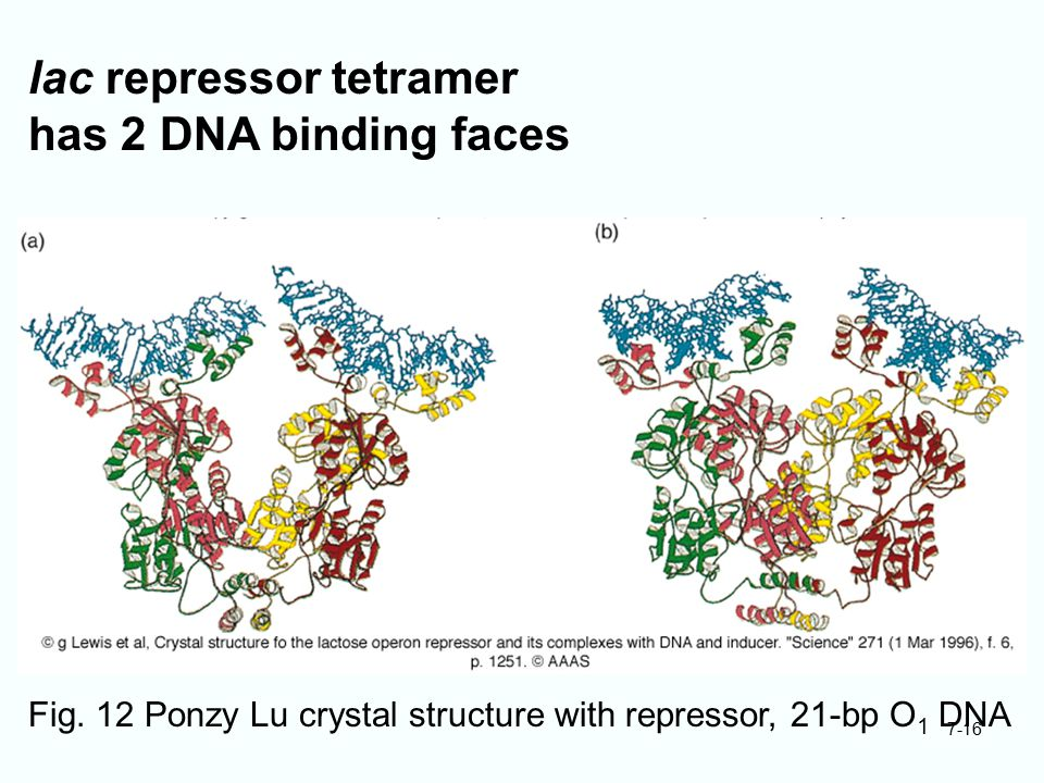 7-16 lac repressor tetramer has 2 DNA binding faces Fig. 12 Ponzy Lu crystal structure with repressor, 21-bp O 1 DNA