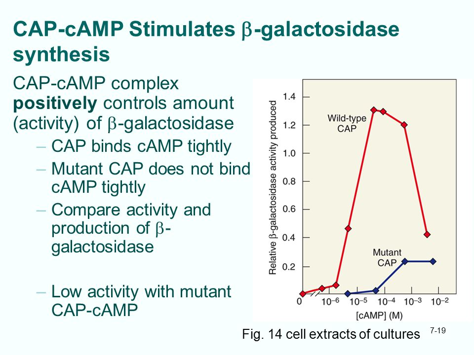 7-19 CAP-cAMP Stimulates  -galactosidase synthesis CAP-cAMP complex positively controls amount (activity) of  -galactosidase –CAP binds cAMP tightly