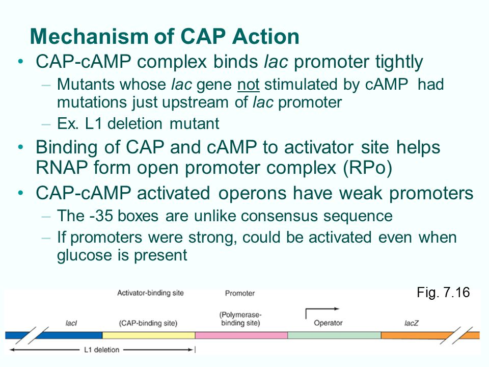 7-20 Mechanism of CAP Action CAP-cAMP complex binds lac promoter tightly –Mutants whose lac gene not stimulated by cAMP had mutations just upstream of