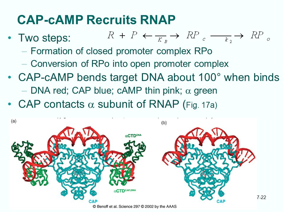 7-22 CAP-cAMP Recruits RNAP Two steps: –Formation of closed promoter complex RPo –Conversion of RPo into open promoter complex CAP-cAMP bends target D