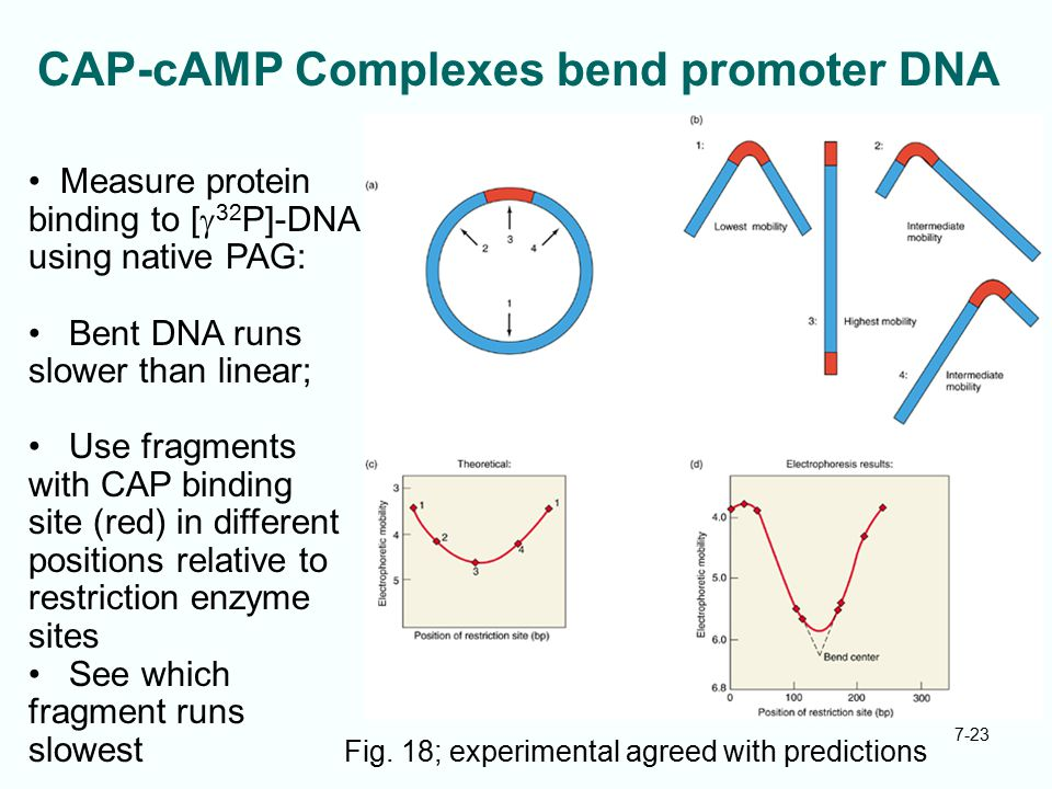7-23 CAP-cAMP Complexes bend promoter DNA Fig. 18; experimental agreed with predictions Measure protein binding to [  32 P]-DNA using native PAG: Ben