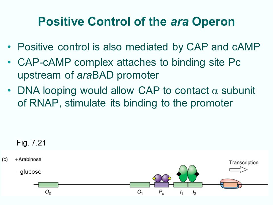 7-30 Positive Control of the ara Operon Positive control is also mediated by CAP and cAMP CAP-cAMP complex attaches to binding site Pc upstream of ara