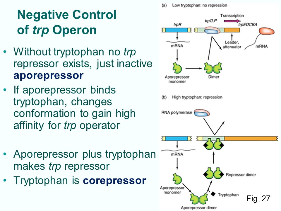 7-33 Negative Control of trp Operon Without tryptophan no trp repressor exists, just inactive aporepressor If aporepressor binds tryptophan, changes c