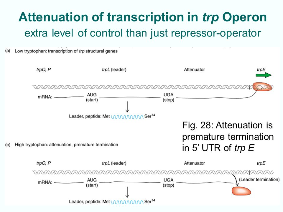 7-34 Attenuation of transcription in trp Operon extra level of control than just repressor-operator Fig. 28: Attenuation is premature termination in 5