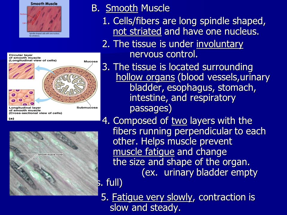 c.Cardiac Muscle 1. Cells/fibers are long, cylindrical fibers that are striated and branched.