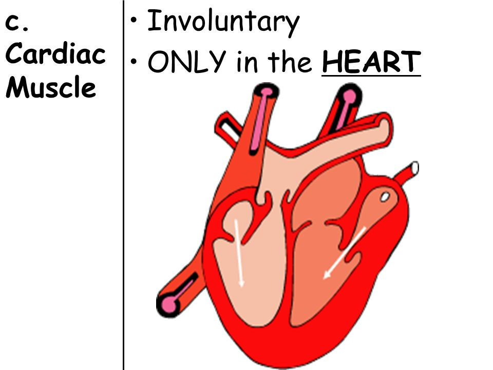 c. Cardiac Muscle Involuntary ONLY in the HEART