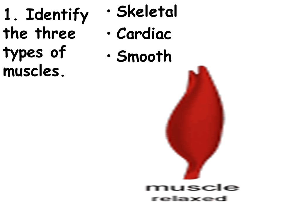 1. Identify the three types of muscles. Skeletal Cardiac Smooth
