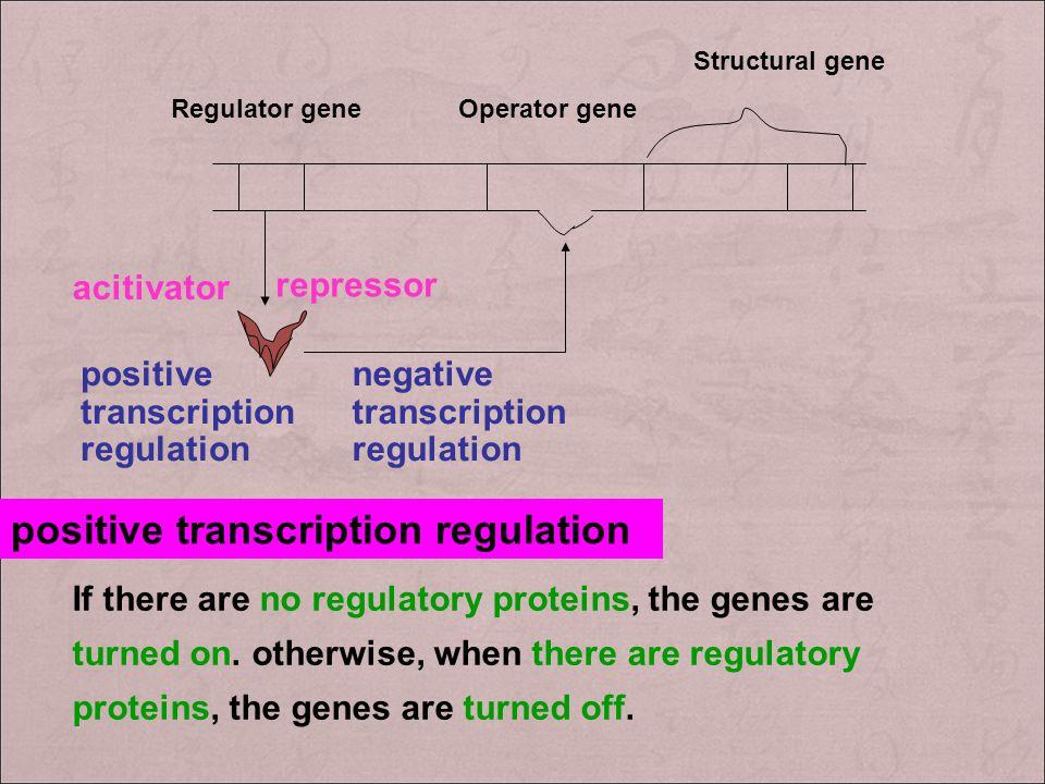 Regulator geneOperator gene Structural gene repressor acitivator positive transcription regulation If there are no regulatory proteins, the genes are