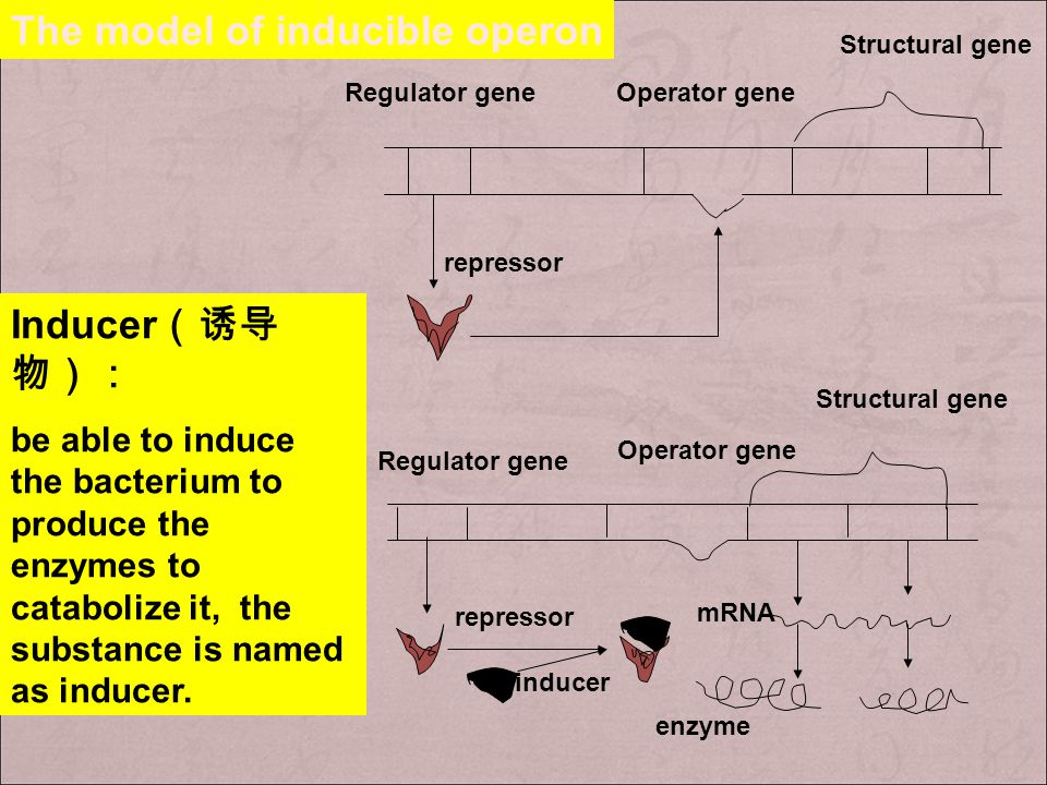 + Inducible regulation( 可诱导调节 ): under some specific metabolites or compound, some genes are turned on, namely that these genes are induced by these s