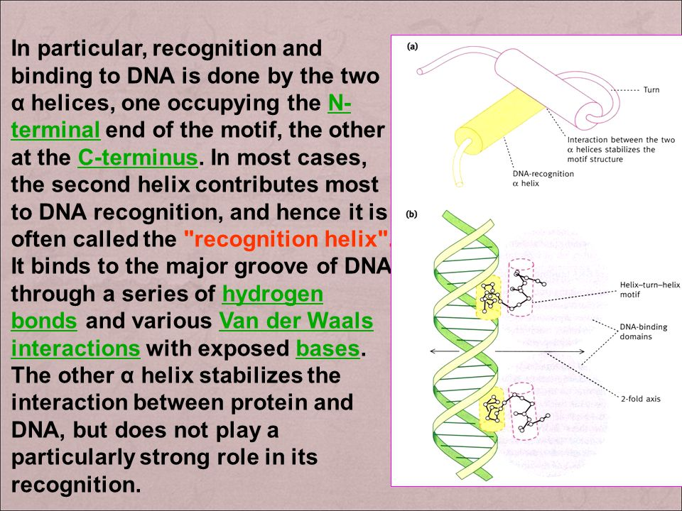 Domain of the regulatory protein binding to the operator gene (DNA-binding domain of protein) : 1 ) helix-turn-helix (螺旋 - 转角 - 螺旋, HTH ) In proteins,