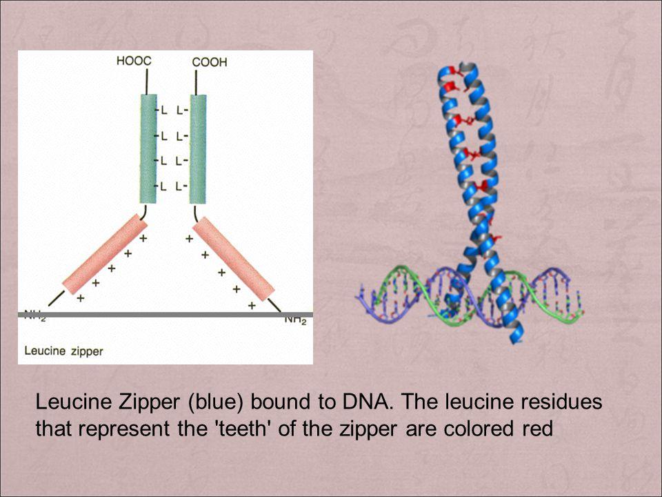 3 ). 亮氨酸拉链( leucine zipper ) A leucine zipper, aka leucine scissors, is a super secondary structural motif found in proteins that creates adhesion for
