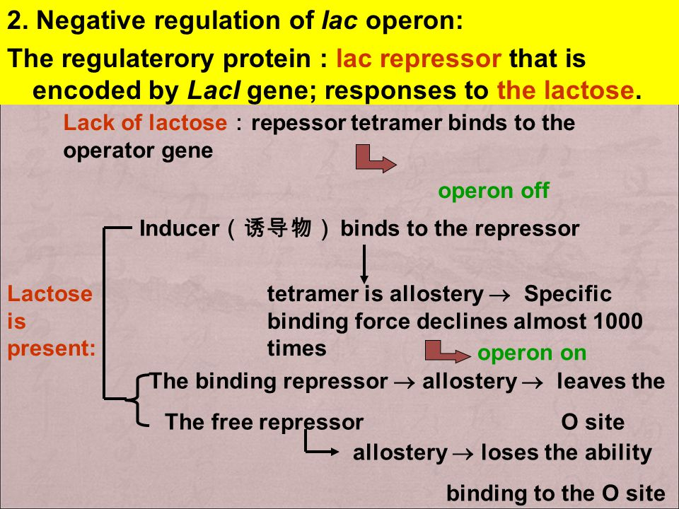 LacZYA transcription unit contains an operator site O lac position between bases -5 and +21 at the 3'-end of P lac Binds with the lac repressor
