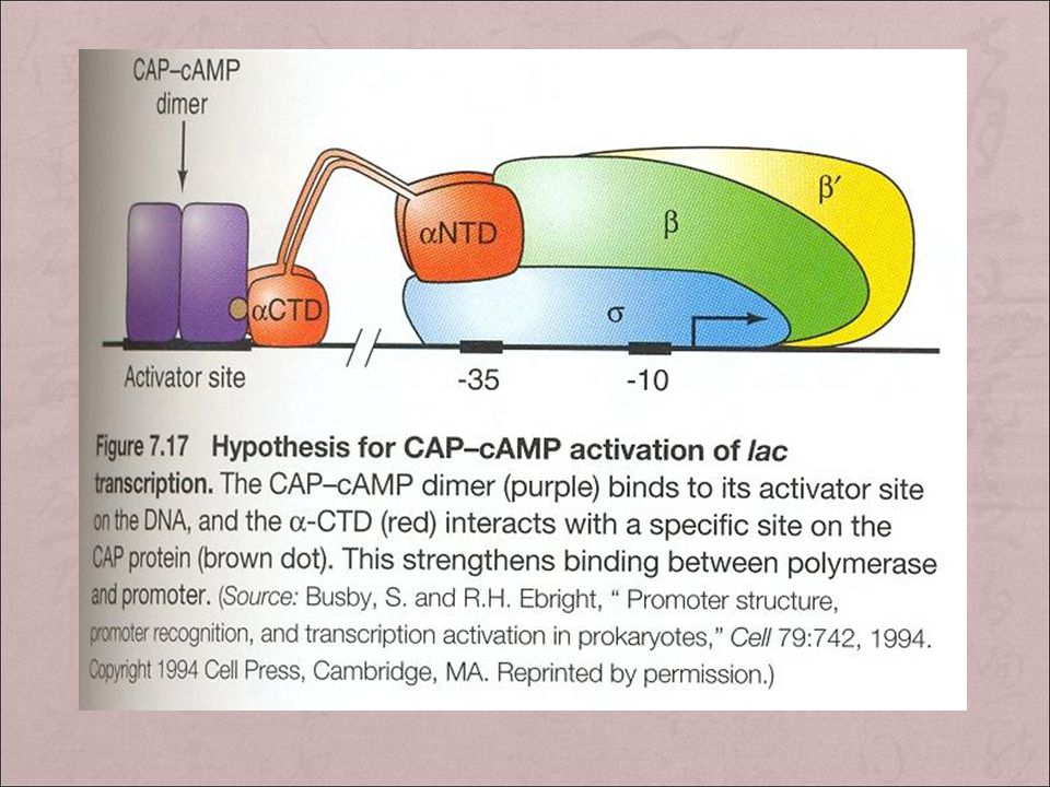 + activator site( 激活位点 ) : locate 60bp upstream the transcription initiation site, consensus sequence TGTGA.