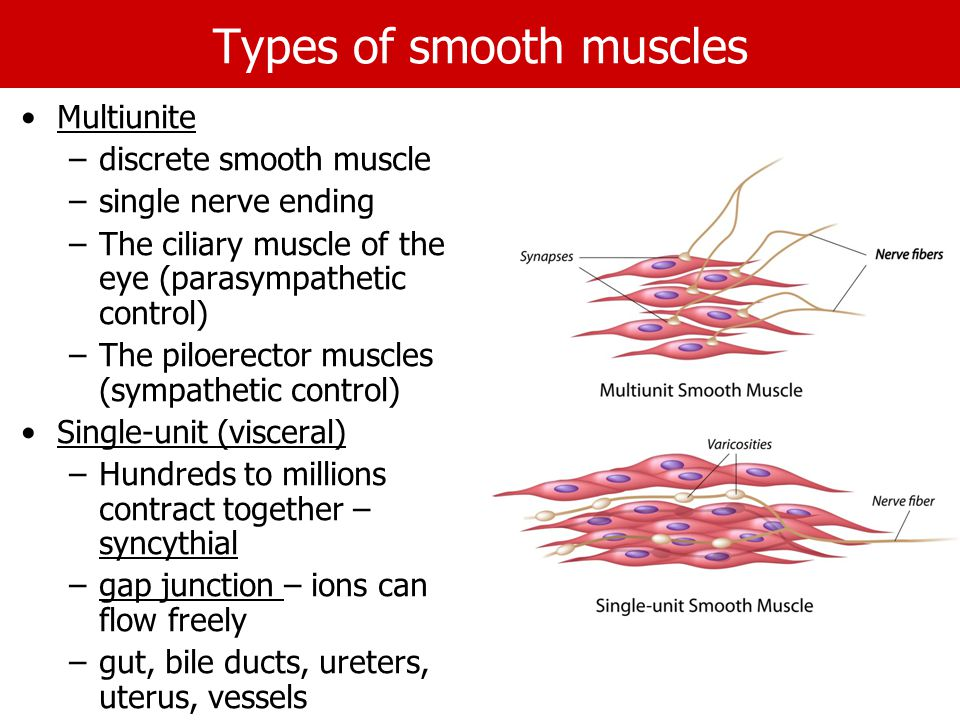 Types of smooth muscles Multiunite –discrete smooth muscle –single nerve ending –The ciliary muscle of the eye (parasympathetic control) –The piloerector muscles (sympathetic control) Single-unit (visceral) –Hundreds to millions contract together – syncythial –gap junction – ions can flow freely –gut, bile ducts, ureters, uterus, vessels