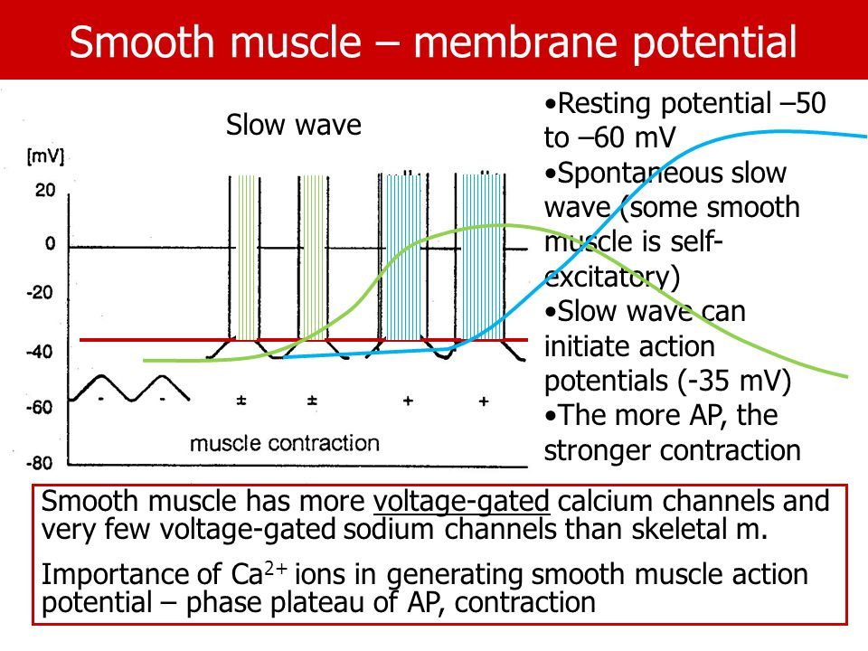 Smooth muscle – membrane potential Smooth muscle has more voltage-gated calcium channels and very few voltage-gated sodium channels than skeletal m.