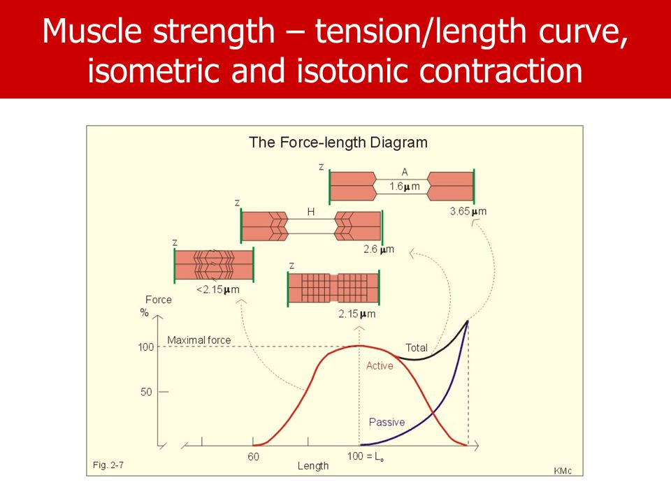 Muscle strength – tension/length curve, isometric and isotonic contraction