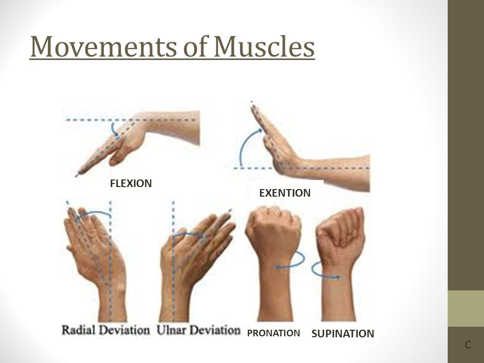 Movements of Muscles EX FLEXION EXENTION PRONATION SUPINATION C