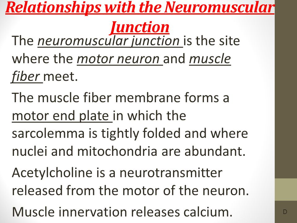 Relationships with the Neuromuscular Junction The neuromuscular junction is the site where the motor neuron and muscle fiber meet. The muscle fiber me