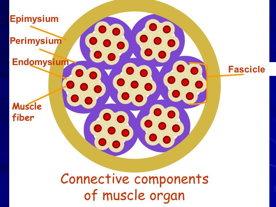 Connective components of muscle organ Fascicle Epimysium Perimysium Endomysium Muscle fiber