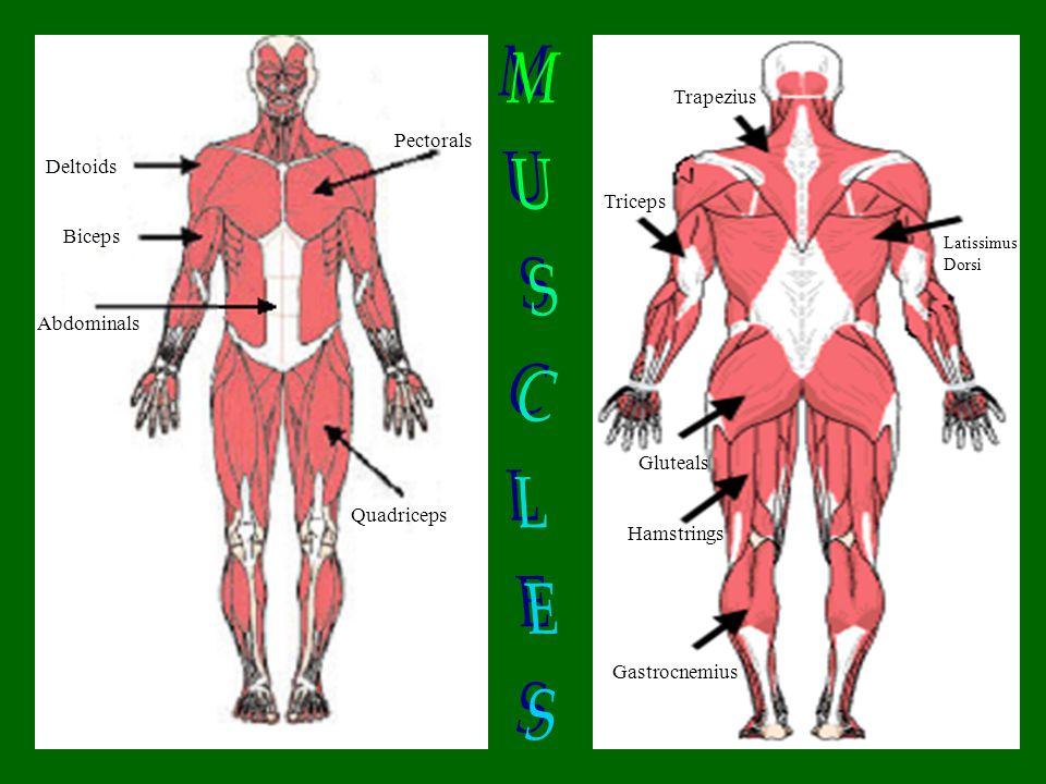 Deltoids Biceps Deltoids Abdominals Quadriceps Pectorals Trapezius Triceps Gluteals Hamstrings Gastrocnemius Latissimus Dorsi