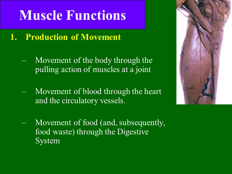 Muscle Functions 1.Production of Movement –Movement of the body through the pulling action of muscles at a joint –Movement of blood through the heart and the circulatory vessels.