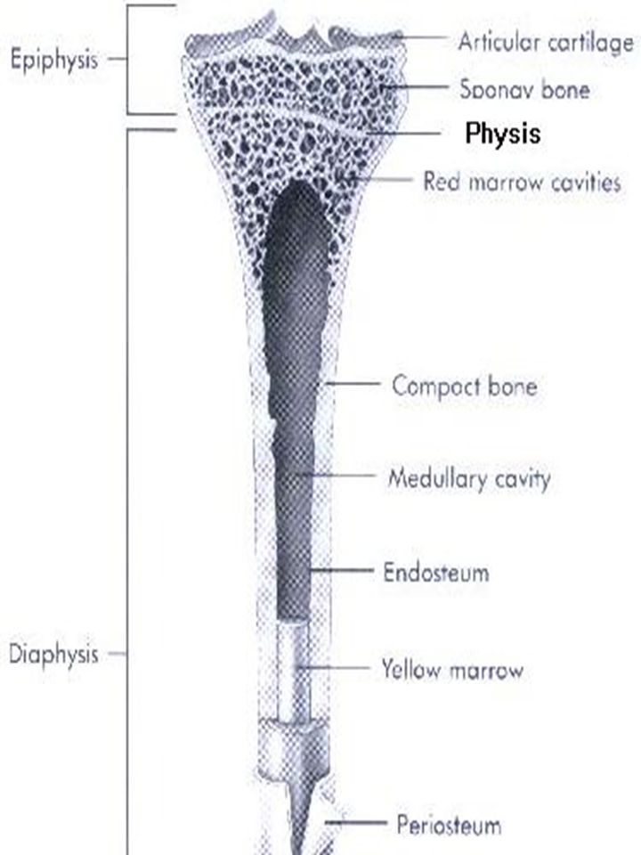 Anatomy of a Long Bone Gross Structures –diaphysis –epiphysis –apophysis –physis –periosteum –hyaline cartilage