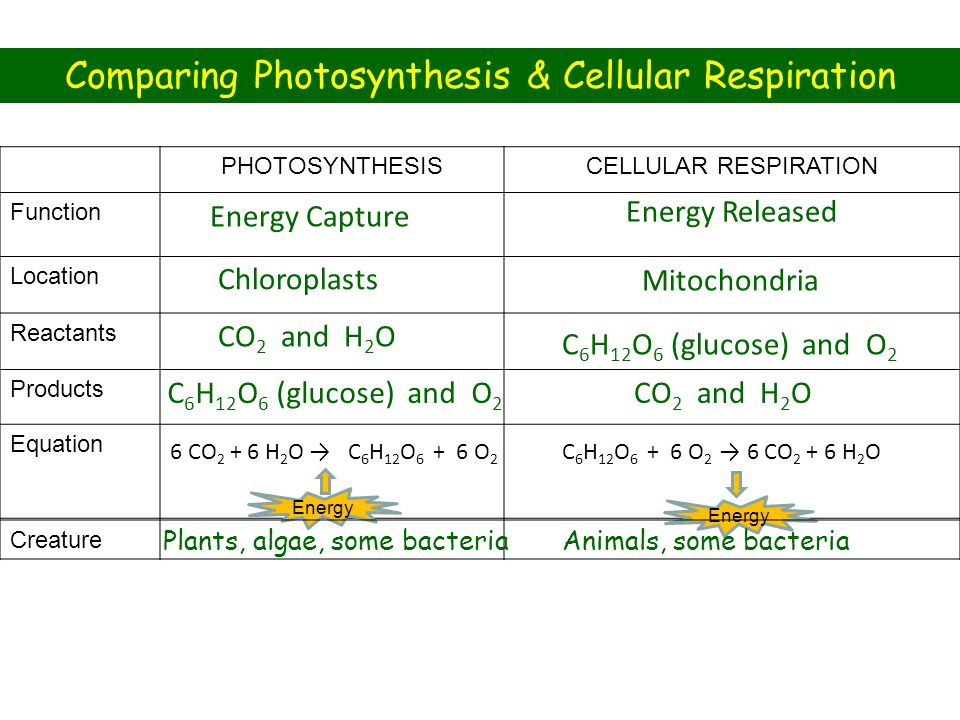 PHOTOSYNTHESISCELLULAR RESPIRATION Function Location Reactants Products Equation Energy Capture Energy Released Chloroplasts Mitochondria CO 2 and H 2