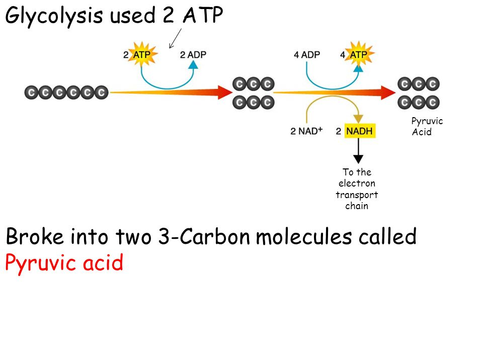 Glycolysis produced: 2 net ATP's (4-2 = 2) 2 NADH Now if Oxygen is not present, there are two pathways the pyruvic acid can take: 1.Alcoholic Fermentation (does not occur in humans!) 2.Lactic Acid Fermentation
