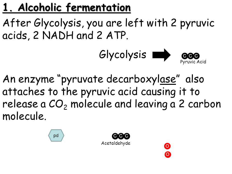 """1. Alcoholic fermentation After Glycolysis, you are left with 2 pyruvic acids, 2 NADH and 2 ATP. CCC Glycolysis Pyruvic Acid CCC An enzyme """"pyruvate d"""