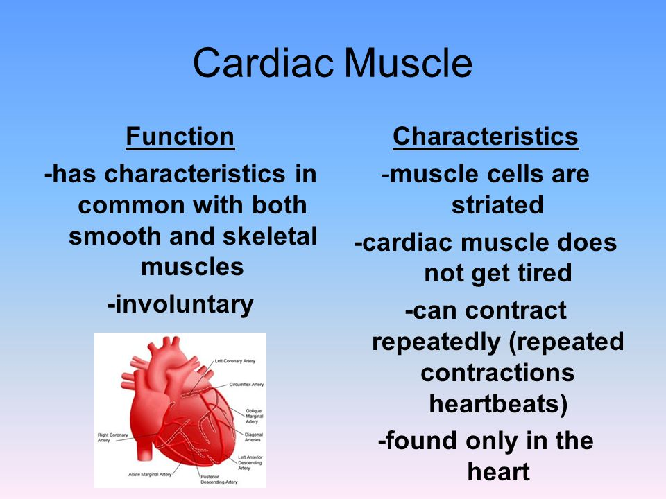 Cardiac Muscle Function -has characteristics in common with both smooth and skeletal muscles -involuntary Characteristics -muscle cells are striated -