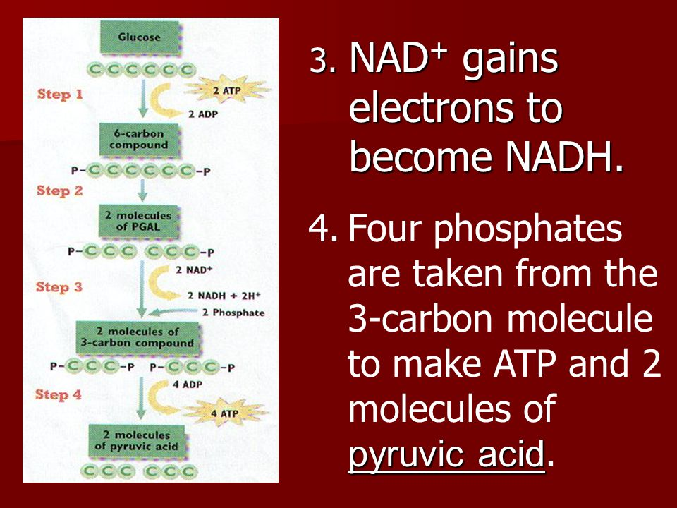 Glycolysis Summary Starts with: glucose Ends with: pyruvic acid, NADH, ATP Net ATP production: 2 ATP