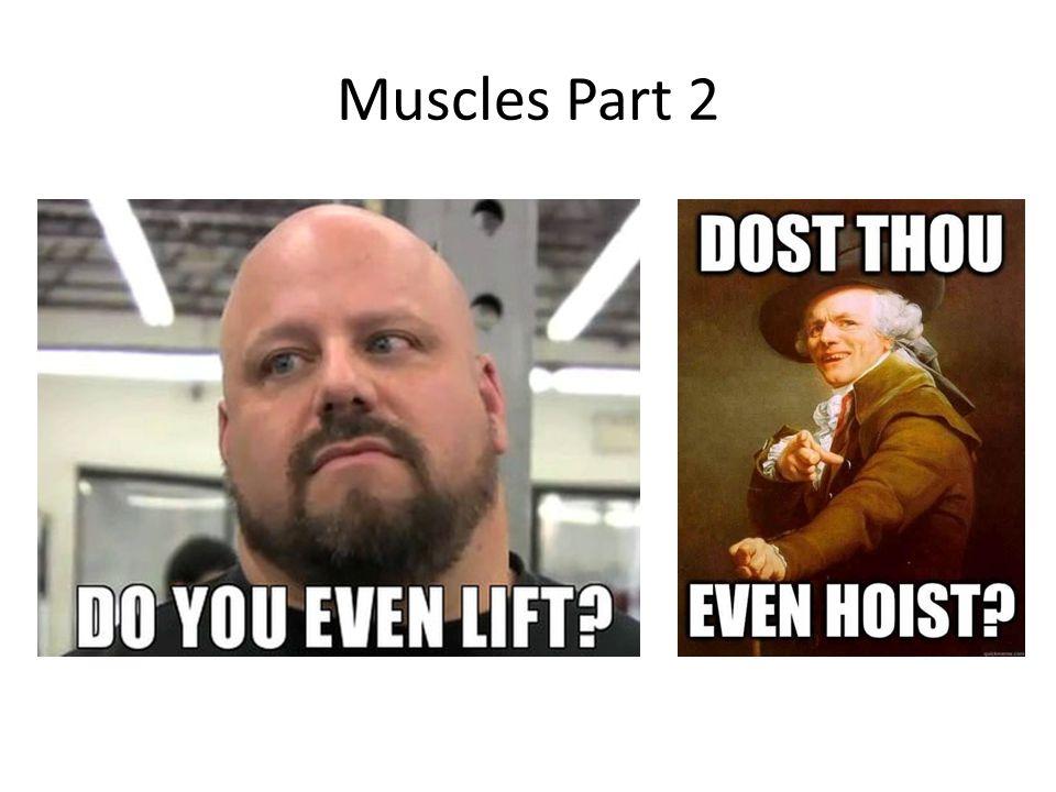 Muscles Part 2