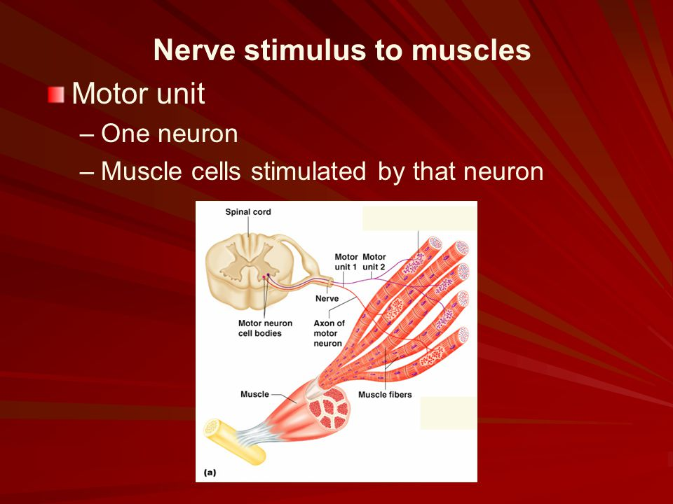 Nerve stimulus to muscles Motor unit – –One neuron – –Muscle cells stimulated by that neuron