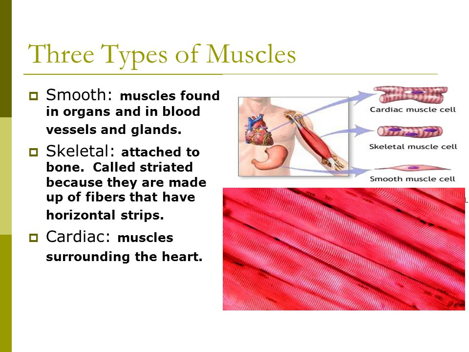 Three Types of Muscles  Smooth: muscles found in organs and in blood vessels and glands.
