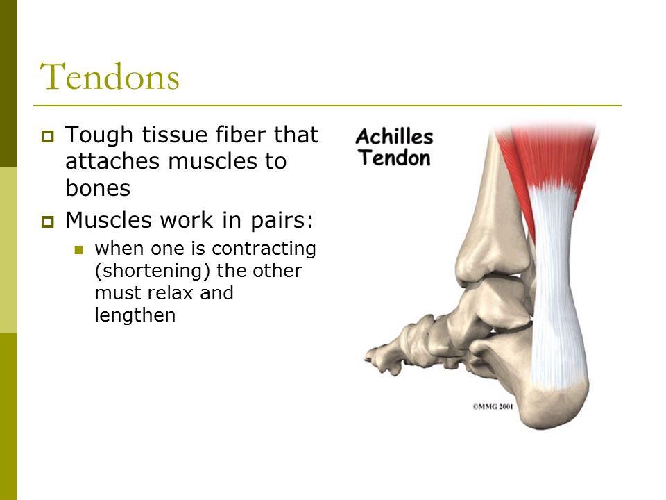 Tendons  Tough tissue fiber that attaches muscles to bones  Muscles work in pairs: when one is contracting (shortening) the other must relax and lengthen