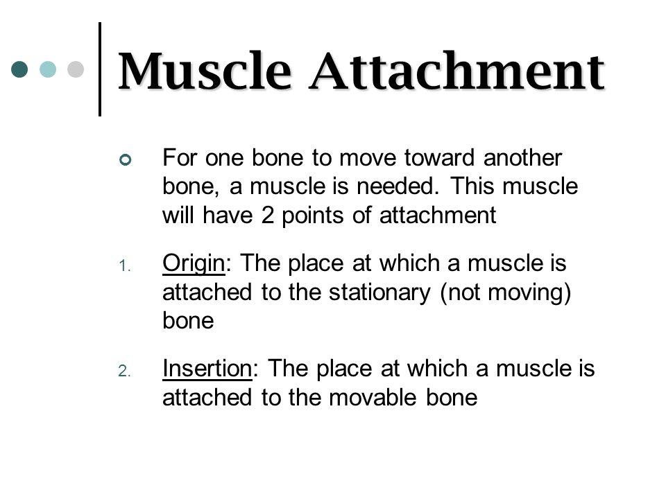 Muscle Attachment For one bone to move toward another bone, a muscle is needed. This muscle will have 2 points of attachment 1. Origin: The place at w