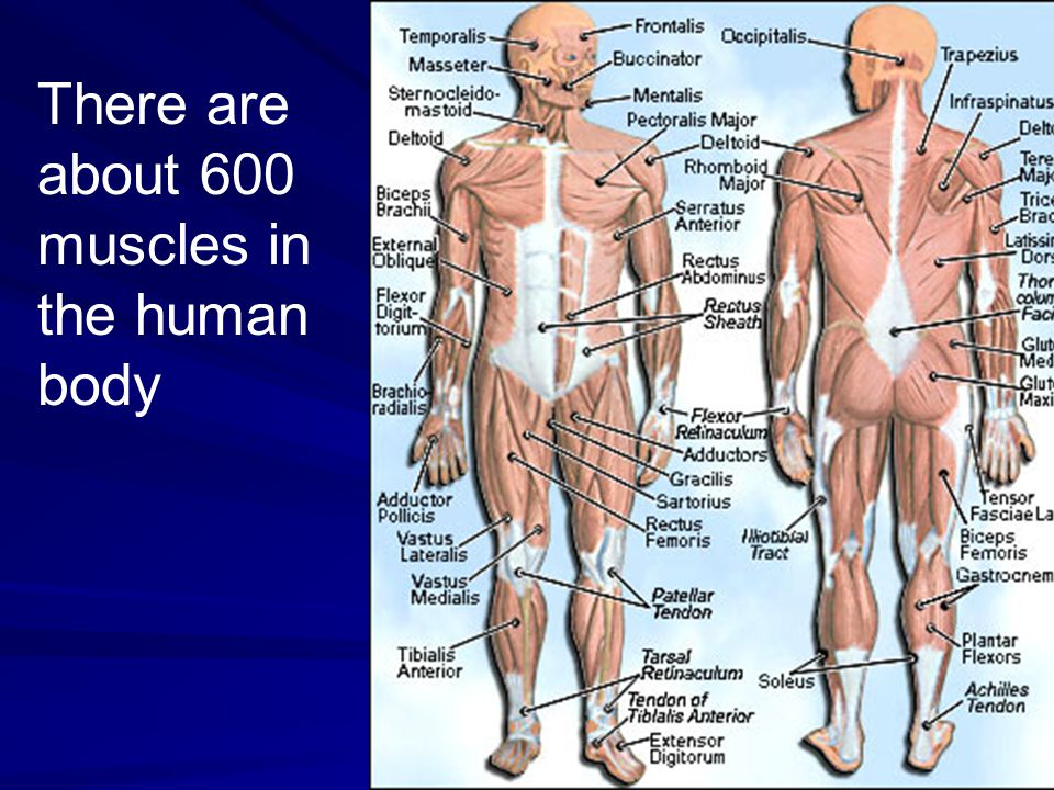 Types of Muscles Involuntary Muscles – Muscles that are not under your conscious control – involved in breathing and digesting food Voluntary Muscles – Muscles that are under your conscious control – smiling, turning a page, getting out of a chair Three types of muscle tissue: –Skeletal, smooth and cardiac